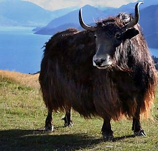 Yak, animali incredibilmente unici e robusti!