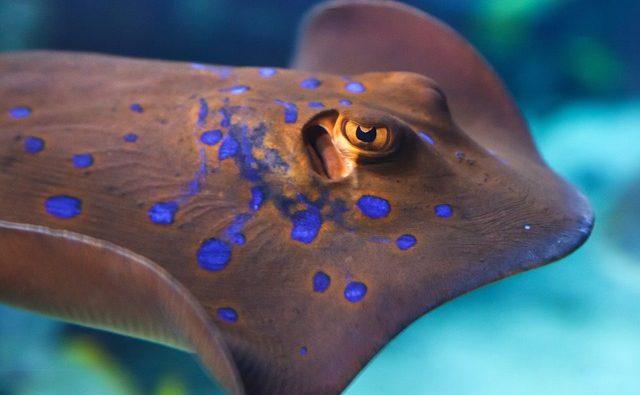 Pastinaca pesce: è velenoso? Dove si trova?