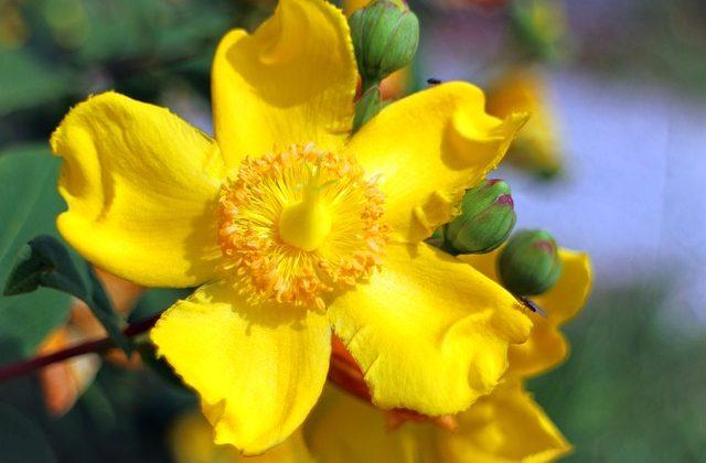 Iperico: l'erba di San Giovanni dai molteplici benefici