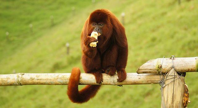 Scimmia urlatrice: caratteristiche, dove vive e cosa mangia