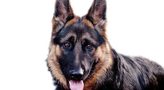 Cani pastori: quali solo di nome e come sono?