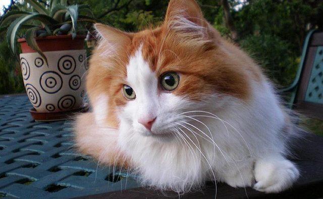 Razze di gatti che iniziano con la lettera A: elenco completo