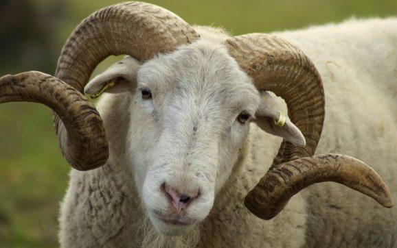 Maschio della pecora: nome, caratteristiche, dove vive e come si nutre?