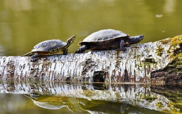 Accoppiamento tartarughe: come avviene e quando?