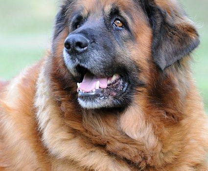 Cane simile al Terranova: esiste? caratteristiche e prezzo
